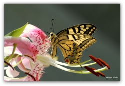 Papilio_machaon25.JPG